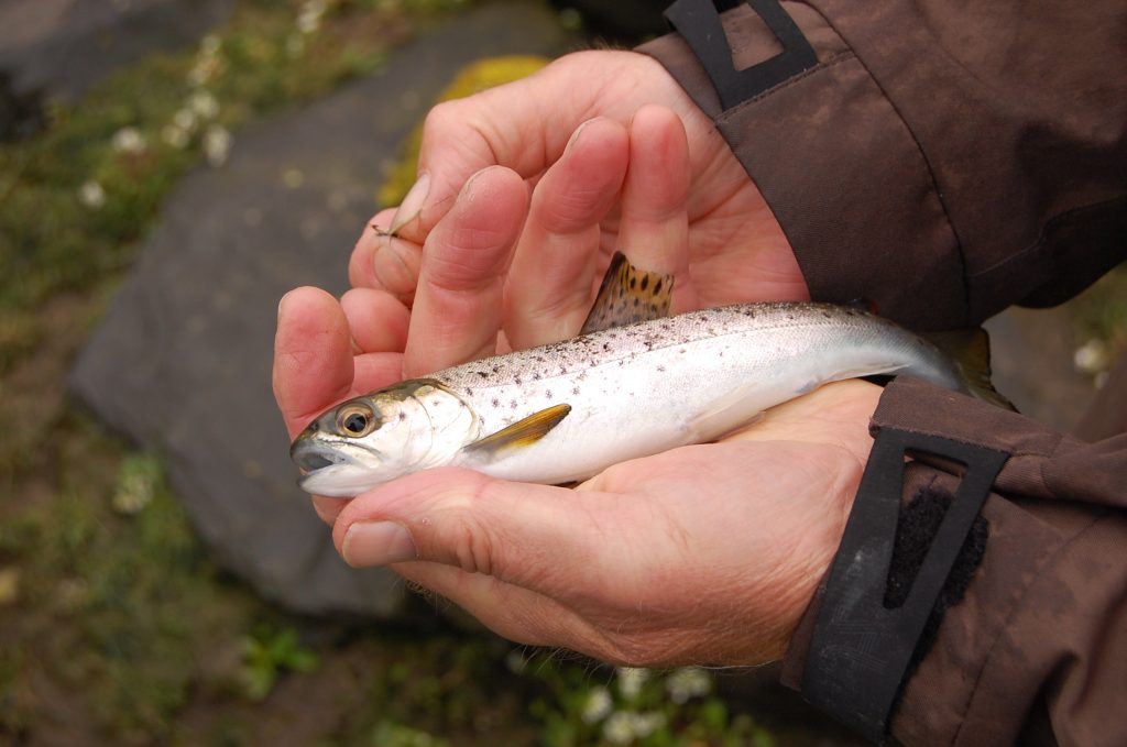 Angler Caught sea trout smolt